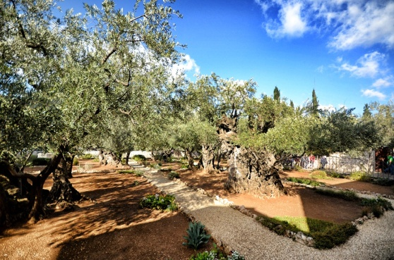 The olive trees of the garden, notice the fences around the garden.